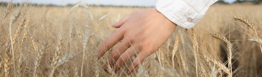 Le champs de blé
